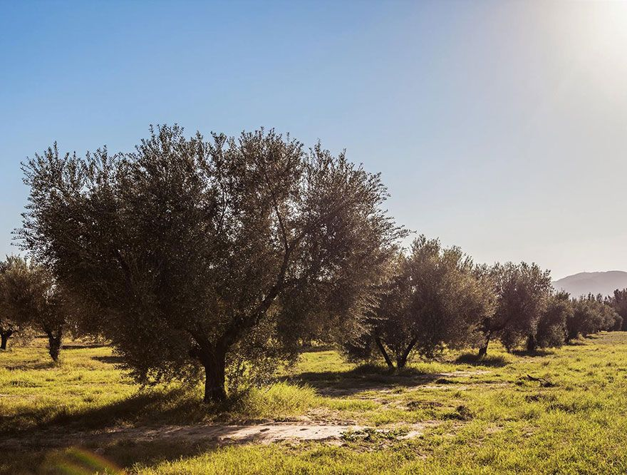 「「Oleiva」チュニジアの伝統的なオリーブオイル」の写真