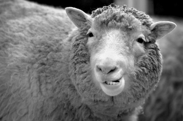 sheepの写真